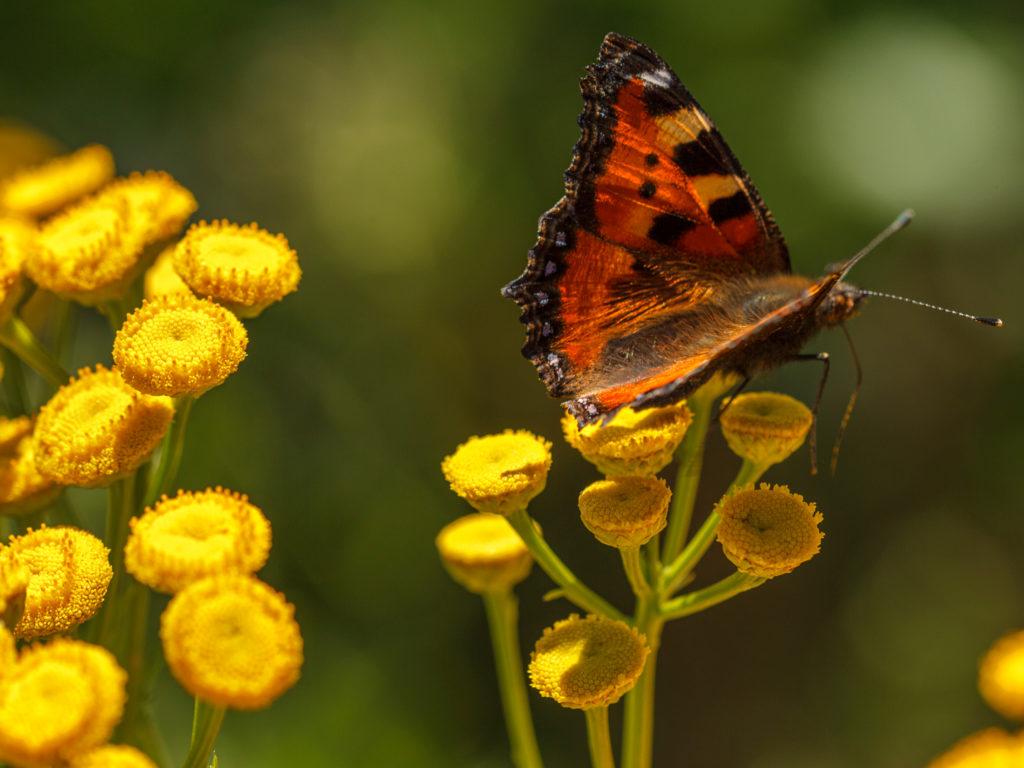Nokkosperhonen keltaisen kukan päällä.